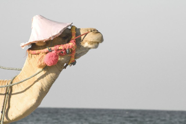camello-blogdehumor